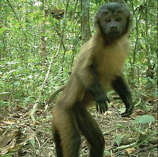 Of the five species of primates recorded, three were detected only in the forest, and rarely. Credit L.E. Pardo-JCU