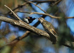 A fairy-wren feeds a hungry Horsfield's bronze-cuckoo fledgling.