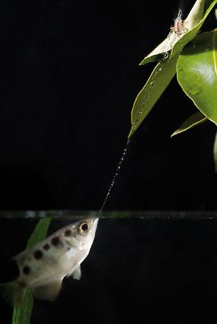 An archerfish spits a carefully aimed jet of water.