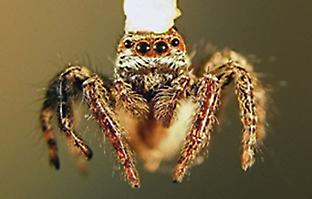 Jumping spiders get surprisingly good vision from their smaller eyes.