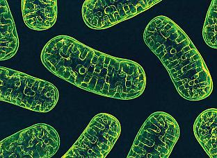 Mitochondria are essential for tumour growth, not for energy production but to enable cancer cells to synthesise nuclear DNA. Wire_man/Adobe