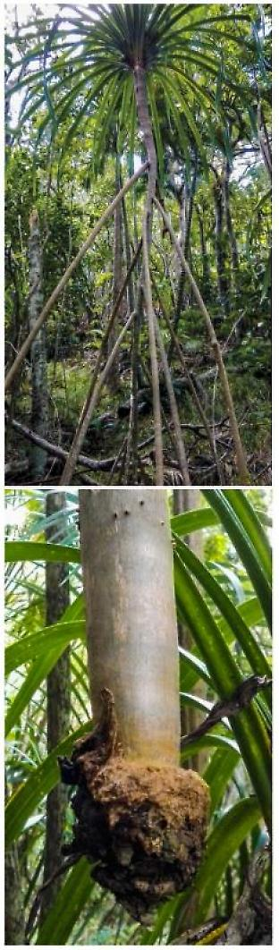 The stilt roots of pandanus (top) have a network of aqueducts that channel water to a dedicated organ of spongy tissue at the root tip, which is sometimes suspended in mid-air (bottom).