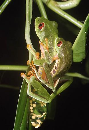 Red-eyed tree frogs mating.