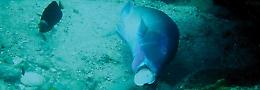 A black spot tuskfish using a rock as an anvil to open a cockle shell. Broken sh